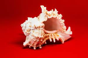 Sea Shell On Red Background