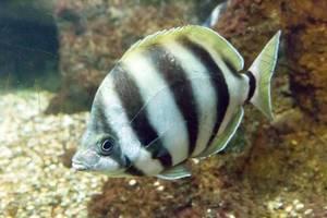 Sechsband-Streifenfalterfisch (Tilodon sexfasciatus) im Shedd Aquarium