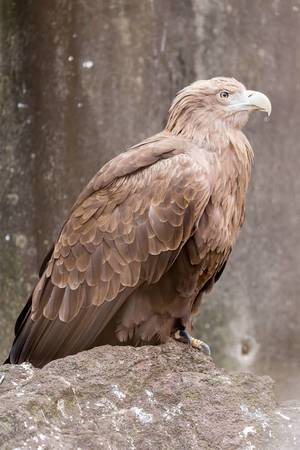 Seeadler / Sea Eagle