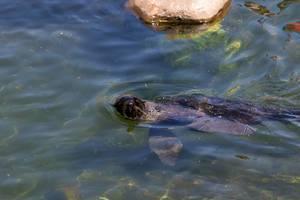 Seehund im Moskauer Zoo