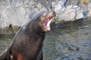 Seelöwe beim Gähnen