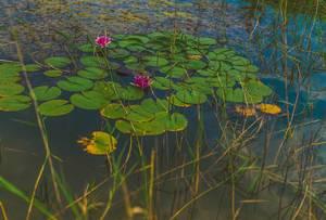 Seerosen im See