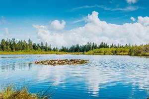 Seerosen mitten im See
