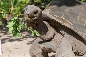 Seychellen-Riesenschildkröte knabbert an einer Pflanze