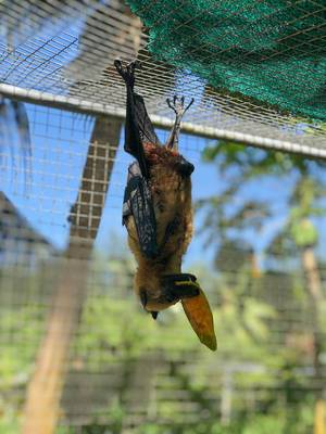 Seychelles fruit bat at Vallée de Mai Nature Reserve and UNESCO World Heritage in Praslin eats Mango while hanging upside down in a cage