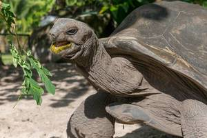 Seychelles giant tortoise stretches neck towards green leaves to eat