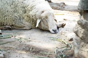 Sheep sleeping (Flip 2019)