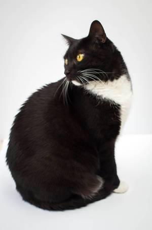Sitzende, schwarz-weiße Katze blickt nach hinten vor weißem Hintergrund