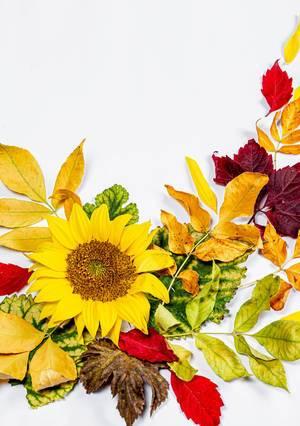Sonnenblume und bunte herbstliche Blätter auf weißem Hintergrund