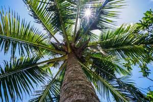 Sonnenstrahlen durchdringen eine Kokosnuss Palme (Flip 2019)