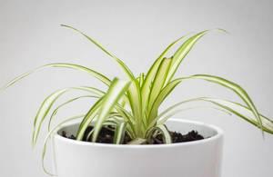 Spider Plant Close-Up