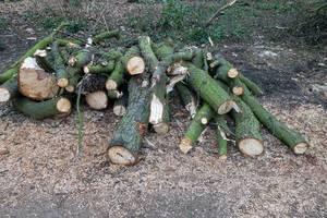 Stämme gefällter Bäume