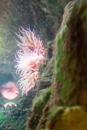 Strawberry anemone (Actinia fragacea) at Shedd Aquarium