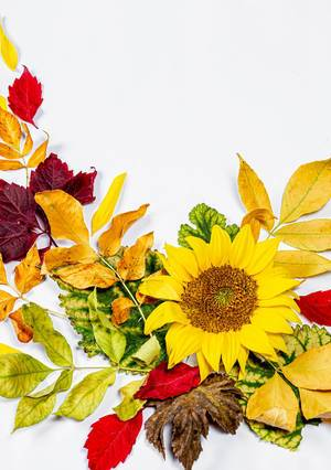 Sunflower and colorful autumn dry leaves (Flip 2019)