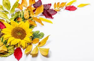 Sunflower flower and colorful autumn leaves on white background (Flip 2019)