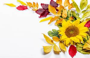 Sunflower flower and colorful autumn leaves on white background