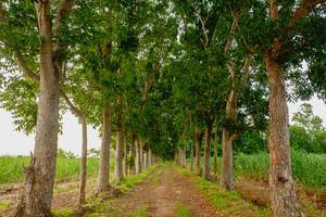Symmetrical trees in Silay (Flip 2019)