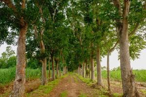 Symmetrische Bäume bilden eine Allee in Silay