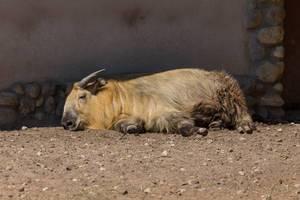 Takin im Moskauer Zoo