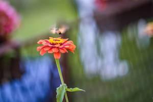 Taubenschwänzchen an einer Blume im eigenen Garten