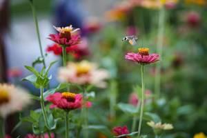 Taubenschwänzchen trinkt Nektar aus einer Blume