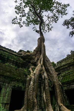 Tetrameles nudiflora Baum in Ta Prohm Tempelanlage