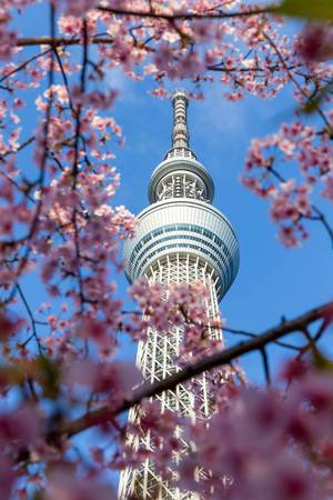 Tokio Skytree und Kirschblüten