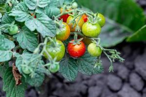 Tomaten in gelben, grünen und roten Farben während des Reifeprozess, am Tomatenstrauch im Garten