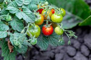 Tomatoes cherry are on branch in the garden