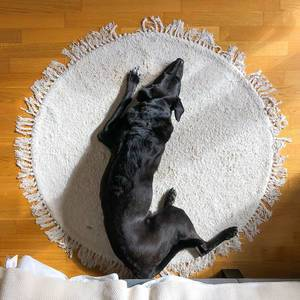 Top view of a black dog lying on a round white carpet on wooden floor at home: an image of relax
