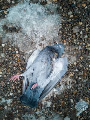 Tote Taube liegt im Winter auf Boden neben kleiner Schneefläche