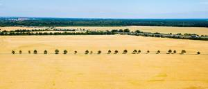 Tree line in the middle of wheat fields / Baumgrenze mitten in Weizenfeldern