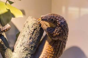 Tree Pangolin / Manis triscuspis