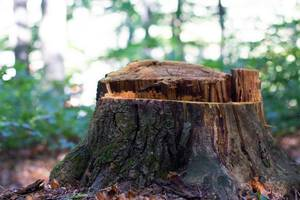 Tree stump