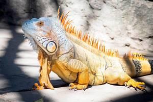 Tropical iguana