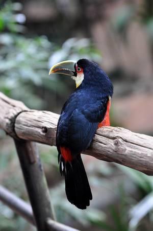 Tukan im Vogelpark Parque das Aves in Brasilien