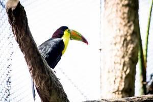 Tukan sitzt auf einem Ast