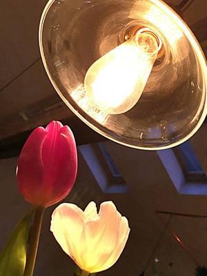 Tulpen im Licht