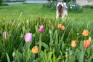Tulpen verschiedener Farben und ein Hund im Hintergrund