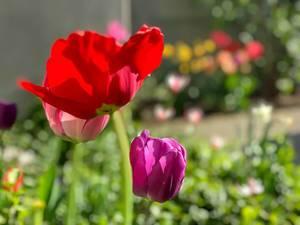 Tulpen verschiedener Farben vor einem verschwommenen Hintergrund