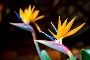 Two bird of paradise flowers  Flip 2019
