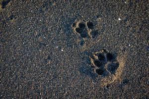 Two dog footprints on black sand