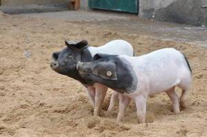 Two happy swabian-hallish pigs playing