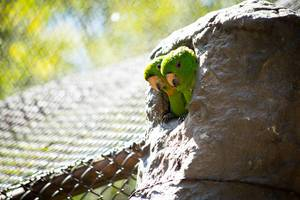 Two oranged-chinned parakeets sticking their heads out of there home