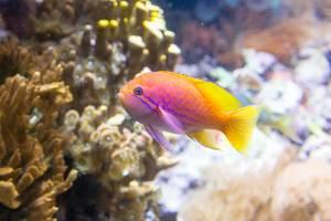 Twospot Anthias (male) at Shedd Aquarium