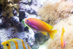 Twospot anthias (Pseudanthias bimaculatus) at Shedd Aquarium, Chicago