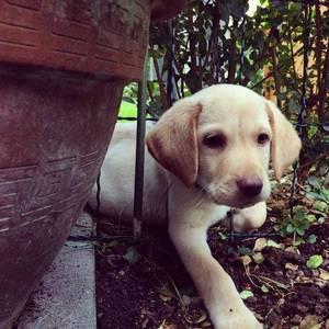 Unser neuer Zaungast. #puppy #labrador #lab #pets #dogs #picoftheday #welpe #hund #animals #cute #aww #puppylove