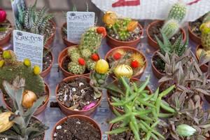 Verkauf von kleinen Kaktuspflanzen im Topf am Straßenmarkt bei der Mercat de la Boqueria - Markthalle in Barcelona, Spanien