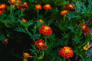 Vibrant orange flowers in a small garden (Flip 2019)