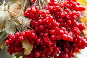 Viburnum shrub, with ripe clusters of viburnum berries. Autumn background
